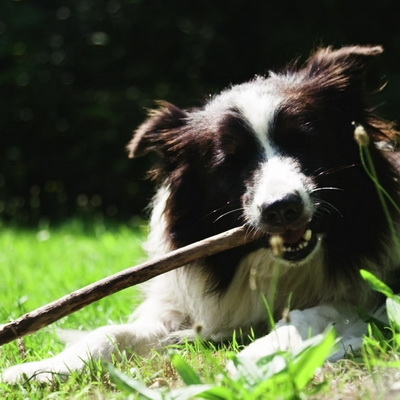 Dog is biting a stick